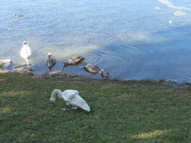 アルプ湖の水鳥たち